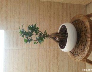 درختچه های بونسای فیکوس