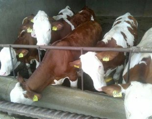 مرکز خریدوفروش انواع گوساله اصیل