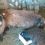 فروش گوسفند