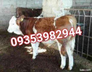 فروش گاو زنده – گاو گوشتی سمینتال گوساله پرواری
