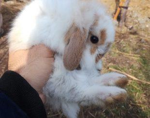 خرگوش لوپ هلندی وارداتی