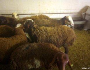 گوسفندزنده