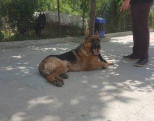 سگ ژرمن شولاینباشیب استثنایی پدرومادر