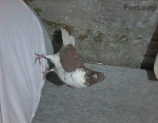کبوتر پرشی تضمینی