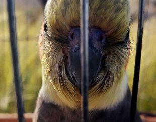 پرنده گمشده ایذه عروس هلندی مژدگانی ۳ ملیون