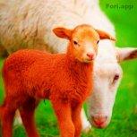 گوسفند زنده بازده بالا تضمینی