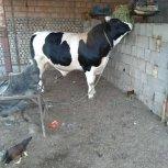 خریدوفروش گوساله