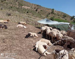 گوسفند معاوضه با پژوپارس