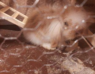 خرگوش لوپی نر