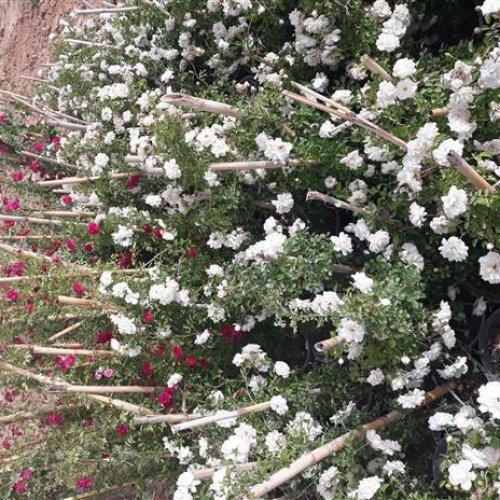 فروش گل رز رونده،محمدی،شمعدانی،هلندی،ساناز و..قیمت خرید