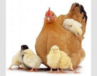 فروش جوجه بوقلمون، مرغ بومی،مرغ تخمگذار،نیمچه تخمگذار