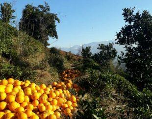 پرتقال خونی ارگانیگ