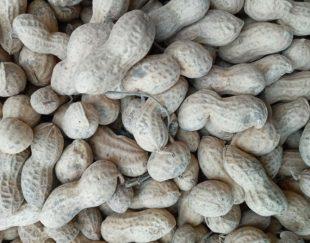 بادام زمینی برای فروش
