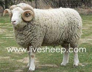 گوسفند زنده همراه با قصاب وشبانه روزی