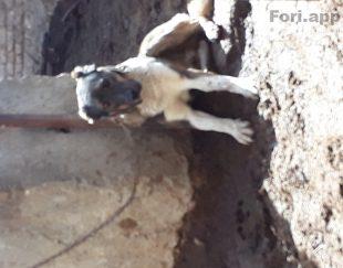 بهترین سگ درنده نژاد سراب