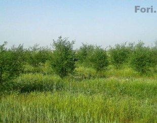 باغ انار هفت ساله بامرغبترین خاک منطقه