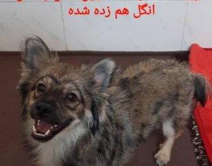 سگ اشپیتز پامر نر ۱۰ماهه
