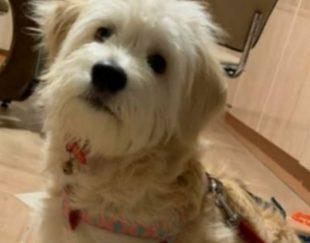 سگ نژاد تریر ماده ۷ ماهه