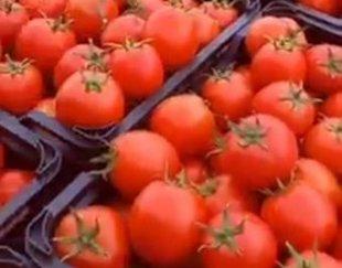 فروش گوجه فرنگی ربی کلی و جزئ
