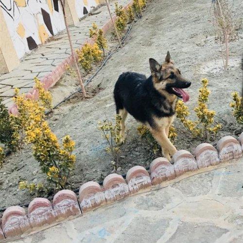 سگ ژرمن شپرد ( توله )