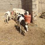 تعدادی گوساله