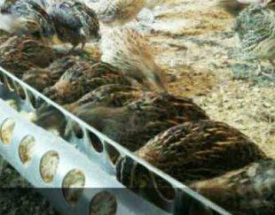 فروش بلدرچین تخمگذار و گوشتی و نیمچه