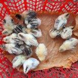 جوجه مرغ گلین اصیل زیر مرغی
