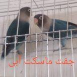طوطی بریزلی جفت ماسکت آبی سالم و با کیفیت
