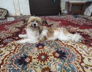 سگ پا کوتا خونگی نژاد شیتزو