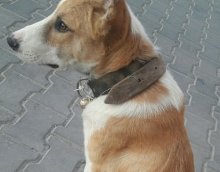 توله سگ افغان