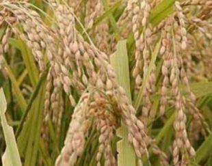 اجاره ۳۰ هکتار زمین کشت شلتوک (برنج)