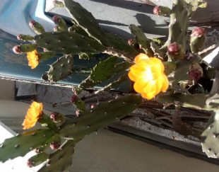 کاکتوس اپونتیا .۳تا گل داده با کلی غنچه.