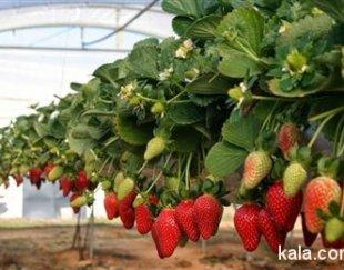 کارگاه آموزشی پرورش توت فرنگی به روش هیدروپونیک