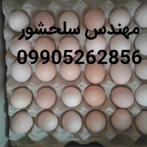 فروش تخم مرغ محلی – رسمی تک زرده و دوزرده