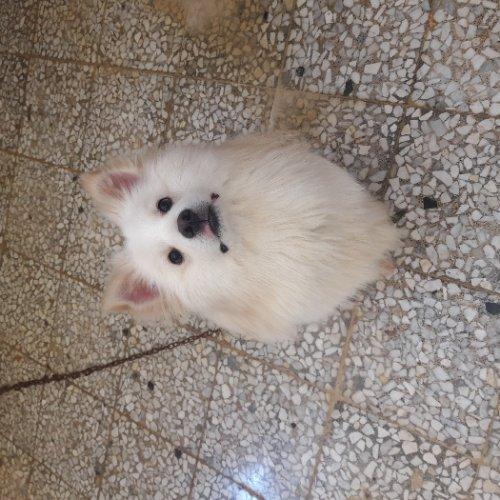 فروش سگ نر اشپیتز