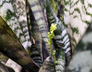 فروش ویژه گل سانسوریا سبز به ارتفاع۸۰سانت
