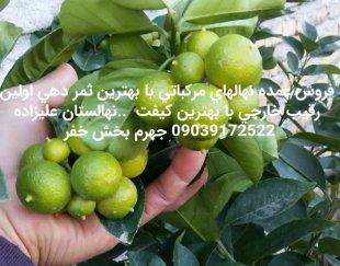 نهال لیمو خوشه ای ۸۰۰کیلویی