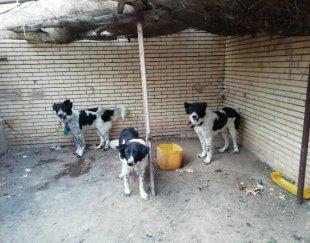 سه قلاده سگ قهدریجانی