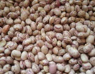 فروش عمده لوبیا چیتی بوجاری منطقه اقلید فارس