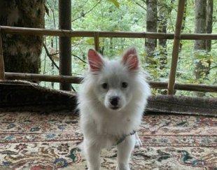 سگ پامر اشپینز ۴ ماه یه