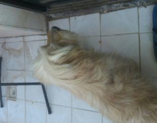سگ باوسایل