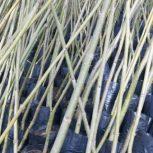 درخت پلاونیا وبذرپلاونیا وپاپایا همون حربزه شمشادهای طلایی وسبز کاج