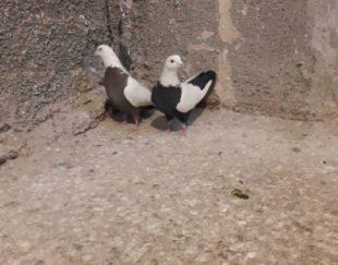 کبوتر سینه دم سیاه