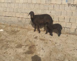 فروش گوسفند و میش