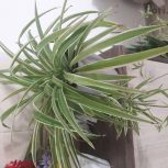 فروش گلدان با گیاه گندمی