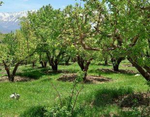 باغ سیب پرثمر