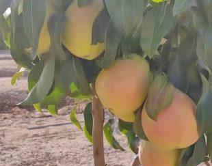 انواع نهال میوه گلدانی
