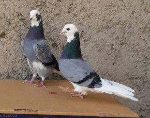 ۲جفت کبوتر شازد اس