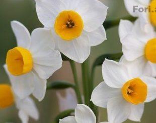 گل نرگس طبیعی