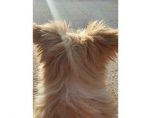 توله سگ نژاد شیتزو کراس